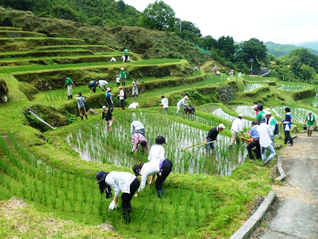 棚田の草取り体験に60人が参加