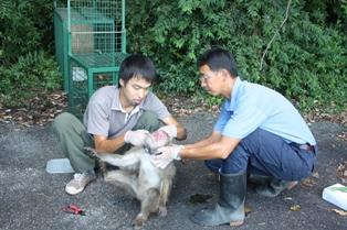 猿害対策で、サルに発信器を装着
