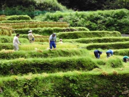 棚田で稲刈り体験