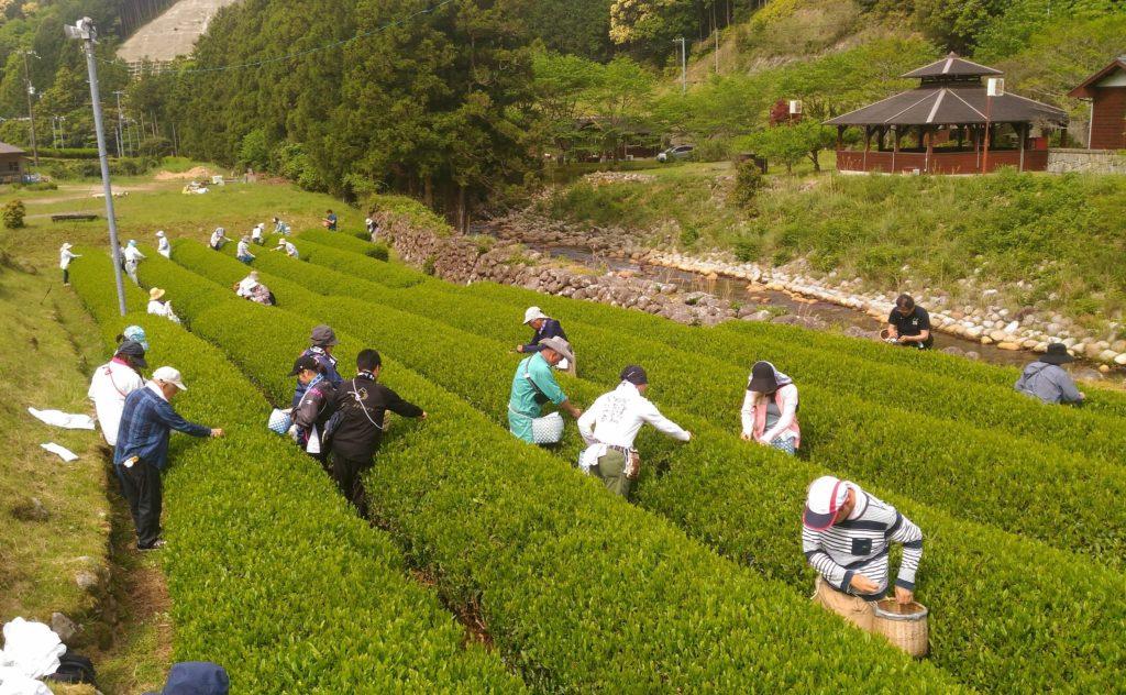 脅威のリピート率! 参加者大満足の 茶作り体験 円満地公園